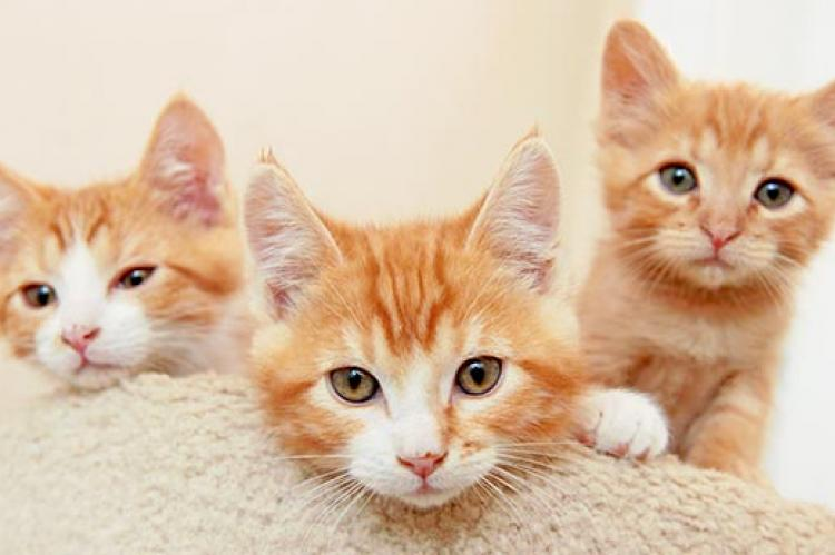 These three orange kittens have had a few behavior problems, but are improving.