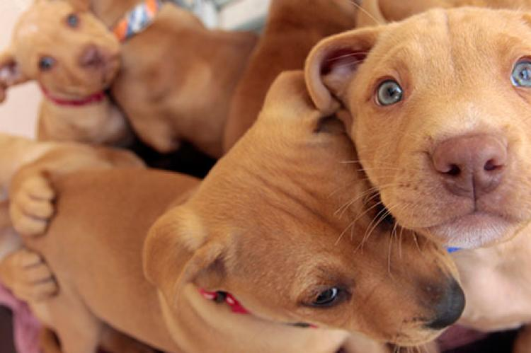 Use animal shelter fundraising strategies to help sweet pitbull puppies like these balls of love.