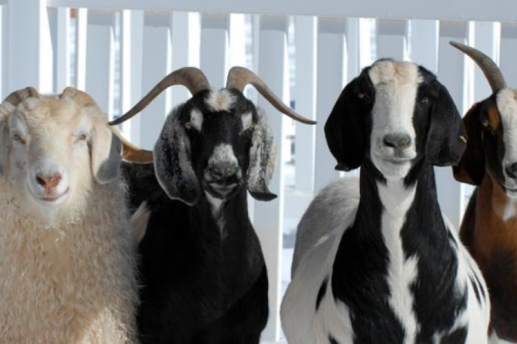 Goat or Sheep Adoption | Best Friends Animal Society