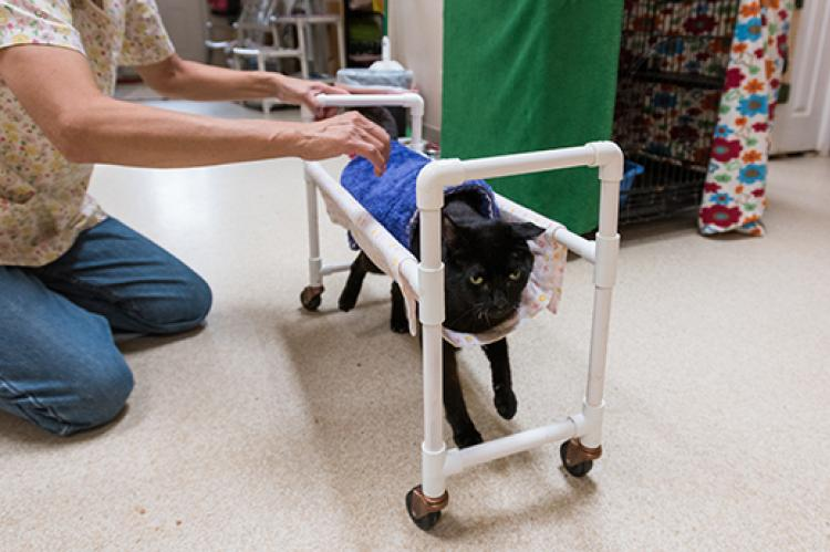Duke, a cat with cerebellar hypoplasia, utilizing a cart made of PVC piping, with a caregiver helping to keep it steady