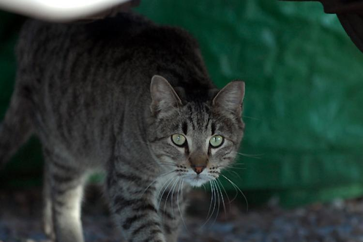 Ear-tipped brown feral tabby cat