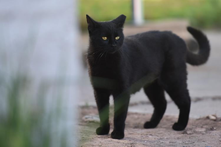 Blackie, a black shorthair community (feral) cat with an ear tip