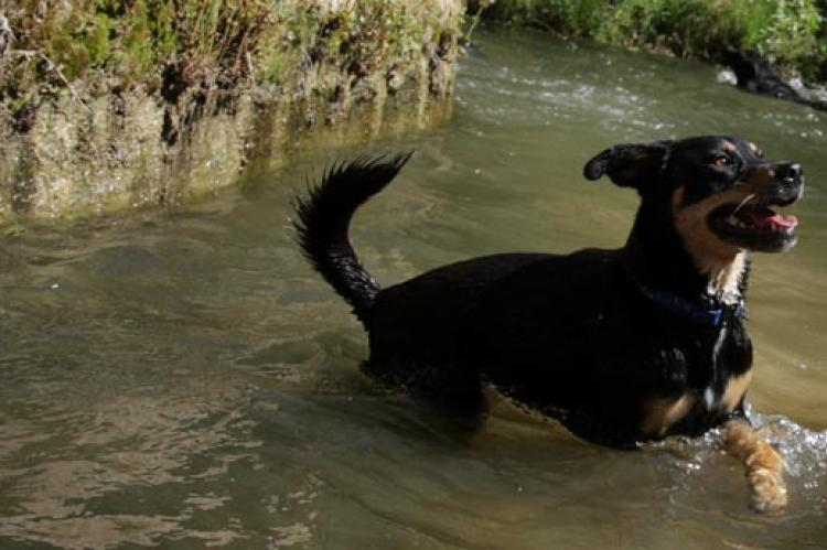 This black dog is cooling off in hot weather by frolicking in a stream.