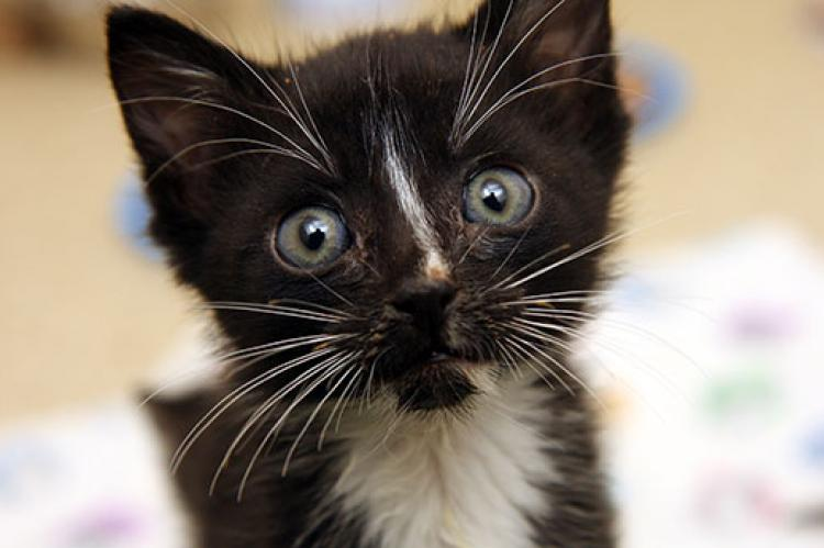 Young cats, like this black-and-white kitten, are susceptible to feline infectious peritonitis (FIP).