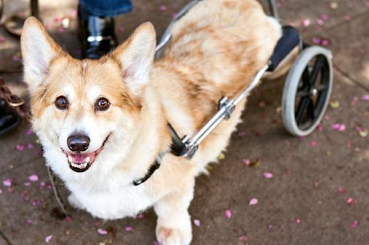 Corgi dog in wheelchair cart
