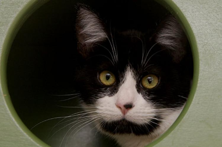 Cats can be tested for FIV and FeLV. This tuxedo cat tested positive for FIV.