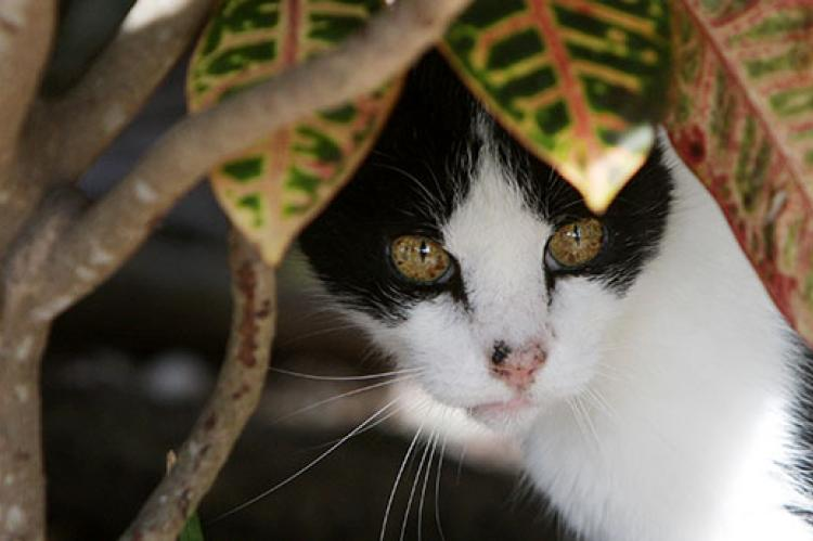 Black-and-white feral cat to be humanely trapped for TNR and then returned to his outdoor colony