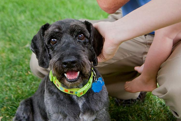 Black schnauzer wearing a green collar