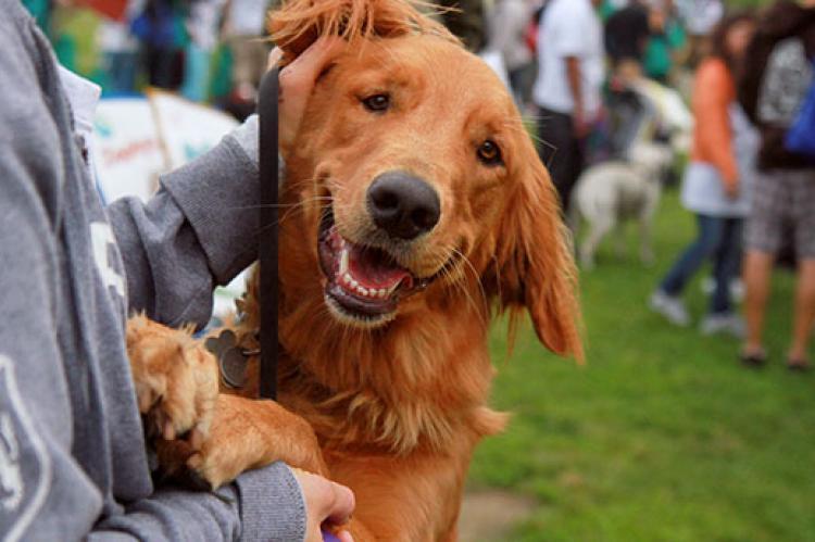 Golden retriever mix dog jumping up