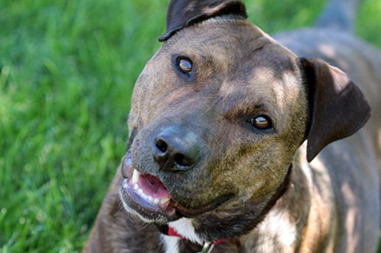 Pitbull mix dog. Pet-liability insurance is important for all dog owners, regardless of the breed of dog they have.