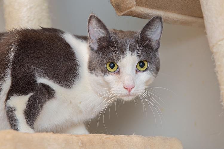 Gray and white cat on a cat tree shelf looking at the camera