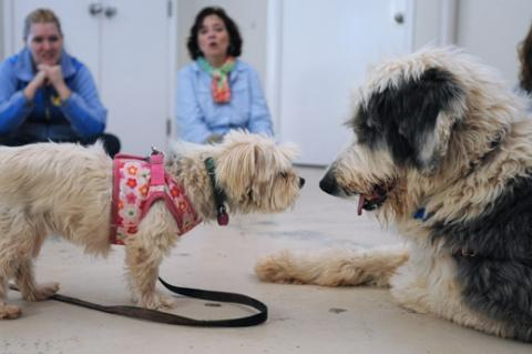 Two shelter dogs receiving dog socialization training