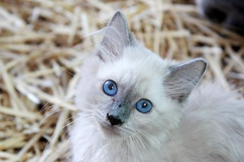 Free-roaming Siamese kitten