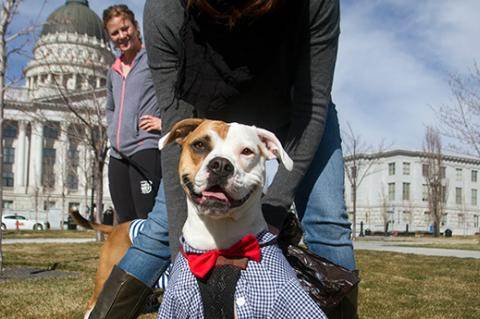 Pit bull terrier in front of Capitol