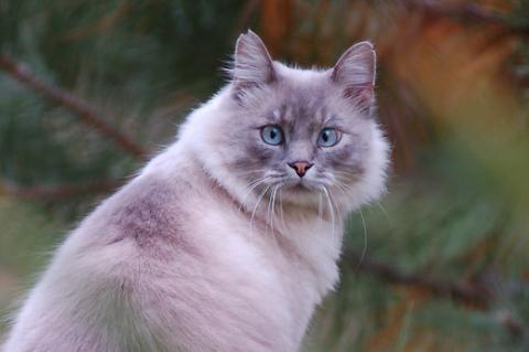 Blue-eyed, Siamese mix community (feral) cat