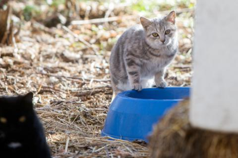 Ear-tipped cats who are part of a feral cat TNR program