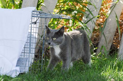 Gray cat walking by a TNR cat trap. Trapping feral cats humanely is part of TNR.