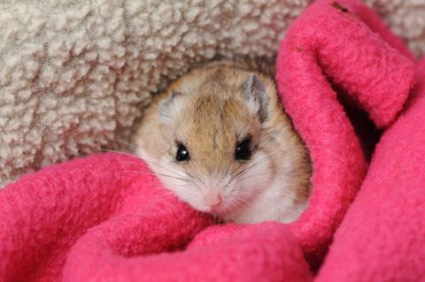 Grasshopper mouse on a blanket