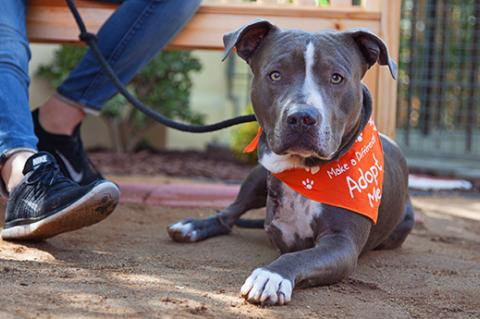 Three-legged pit-bull-terrier-type dog wearing an Adopt Me bandanna