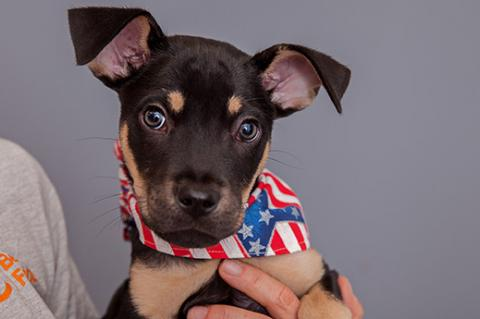 Opie the puppy in a Fourth of July bandanna