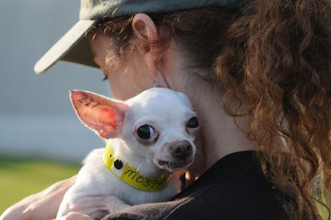Elizabeth Oreck holding a tattooed Chihuahua rescued from a puppy mill