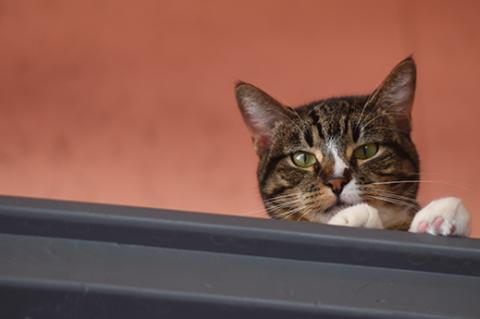 A shy tabby cat