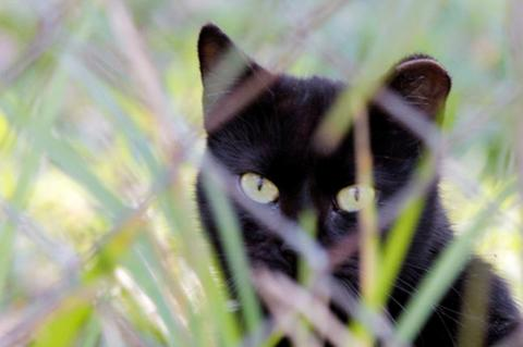 Ear-tipped black cat who is part of TNR cats program