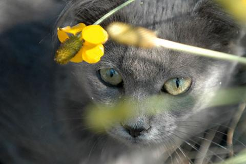Gray feral cat who has been relocated to a new colony