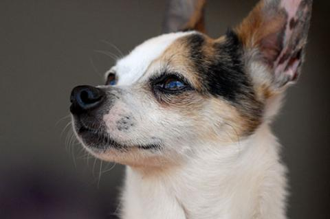 Chihuahua mix used to have some aggressive tendencies towards people but has received training.