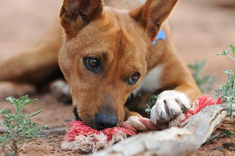 Dog chewing on rope. Providing chew toys can help solve some dog behavior problems like inappropriate chewing out of boredom.