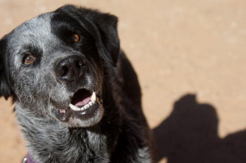 Beautiful black-and-gray dog who was adopted in part because of his well-written pet profile on our website