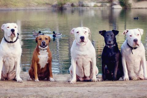 Group of pit-bull-terrier-type dogs on a lake