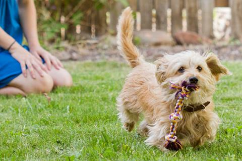 Neutered small dog running with rope toy