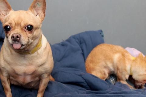 Two puppy mill rescue dogs (Chihuahuas)