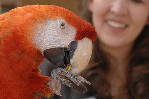 Volunteer with red parrot. Recruiting volunteers for nonprofits can be important for helping the animals.