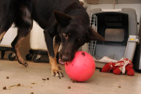 This shepherd mix is more interested in playing with his ball than going back in his crate.