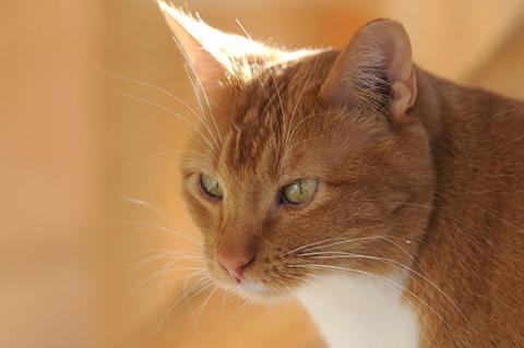 Outdoor orange tabby cat who was the victim of animal cruelty