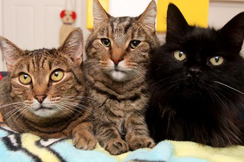 Three cats who have been neutered. TNR is the best solution to the feral cats problem.