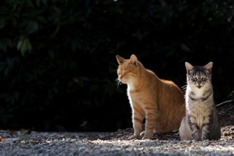 Two tabby cats who are part of a TNR program