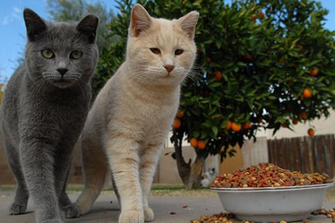 A cat colony caregiver is helping these two stray cats by feeding them.