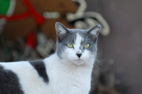 Feral feline with tipped ear who is part of TNR cat program