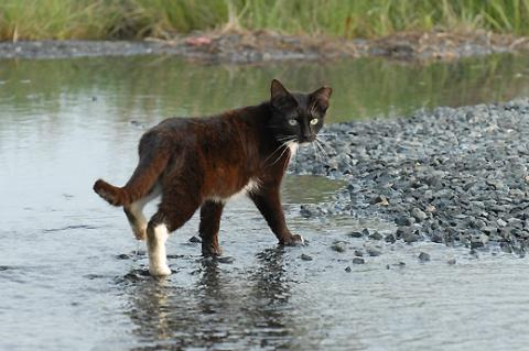 Black and white ear-tipped community (feral) cat in some water