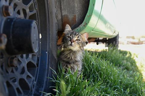 Medium haired brown tabby community (feral) cat, with an ear tip, next to a tire