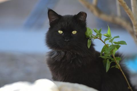 Black medium hair community (feral) cat with ear tip who is part of a managed TNR cat colony