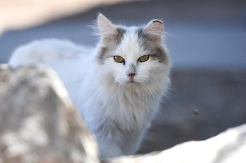 Gray and white community cat with a freshly tipped ear to indicate he is a feral cat who is part of a managed cat colony