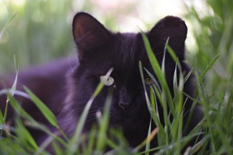 Medium haired black community cat (feral cat) hiding behind some grass