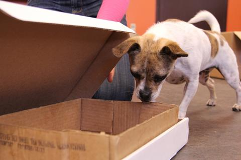 Small tan and white dog doing nose work to find a treat in a cardboard box