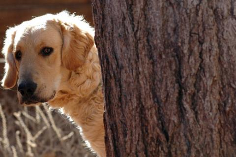 Feral and shy dogs, like this one hiding behind a tree, share some of the same challenges.