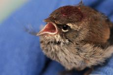 Injured baby songbird who has been receiving care from a licensed wildlife rehabilitator