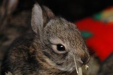 Baby cottontail rabbit at rehabilitation